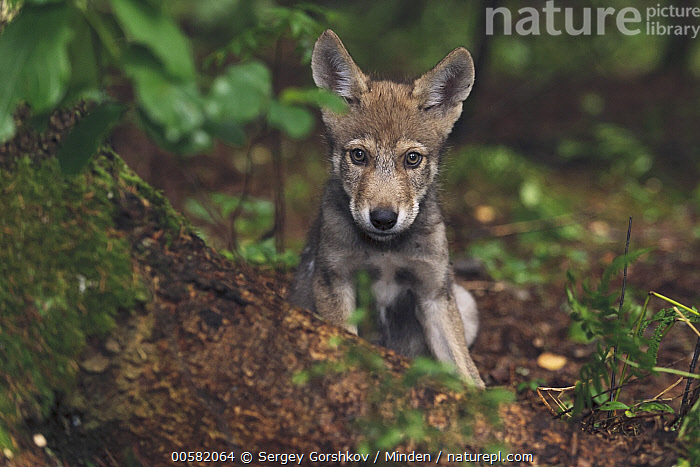 Wolf (Canis lupus) pup, Tver, Russia  ,  Baby, Canis lupus, Color Image, Cute, Day, Front View, Full Length, Horizontal, Looking at Camera, Nobody, One Animal, Outdoors, Photography, Pup, Russia, Tver, Wildlife, Wolf,Wolf,Russia  ,  Sergey Gorshkov