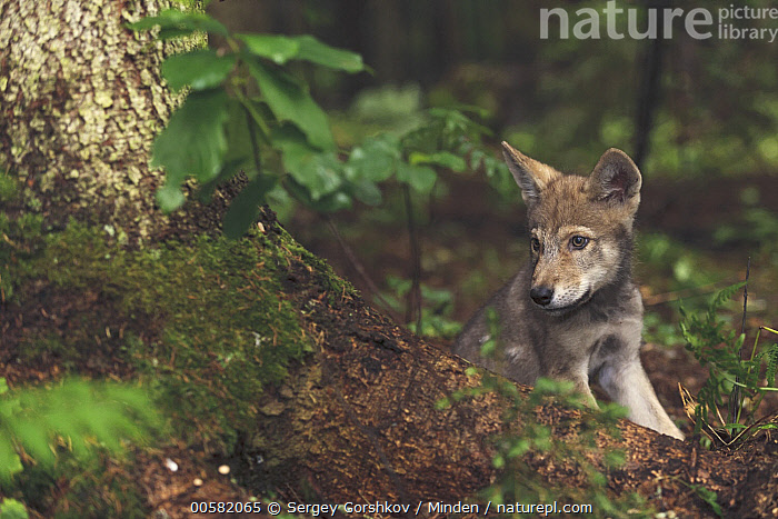 Wolf (Canis lupus) pup, Tver, Russia, Baby, Canis lupus, Color Image, Day, Front View, Full Length, Horizontal, Nobody, One Animal, Outdoors, Photography, Pup, Russia, Tver, Wildlife, Wolf,Wolf,Russia, Sergey Gorshkov