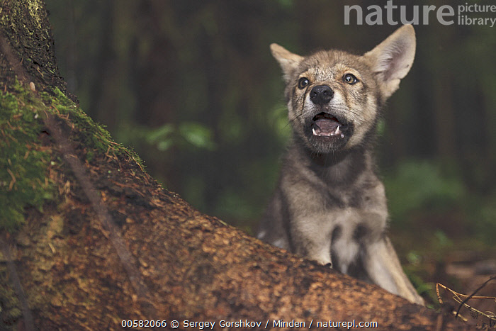 Wolf (Canis lupus) pup, Tver, Russia, Baby, Canis lupus, Color Image, Day, Front View, Horizontal, Nobody, One Animal, Outdoors, Photography, Pup, Russia, Tver, Waist Up, Wildlife, Wolf,Wolf,Russia, Sergey Gorshkov