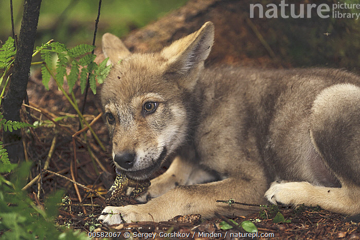 Wolf (Canis lupus) pup feeding on snake prey, Tver, Russia  ,  Adult, Canis lupus, Color Image, Day, Feeding, Horizontal, Nobody, One Animal, Outdoors, Photography, Predator, Prey, Russia, Side View, Snake, Three Quarter Length, Tver, Wildlife, Wolf,Wolf,Russia  ,  Sergey Gorshkov