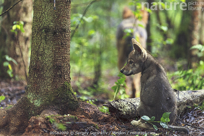 Wolf (Canis lupus) pup, Tver, Russia, Baby, Canis lupus, Color Image, Day, Full Length, Horizontal, Nobody, Outdoors, Photography, Pup, Rear View, Russia, Tver, Two Animals, Wildlife, Wolf,Wolf,Russia, Sergey Gorshkov
