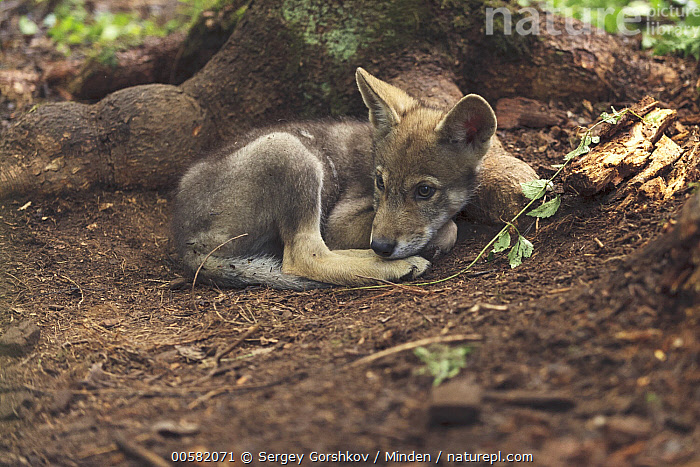 Wolf (Canis lupus) pup, Tver, Russia  ,  Baby, Canis lupus, Color Image, Day, Full Length, Horizontal, Nobody, One Animal, Outdoors, Photography, Pup, Resting, Russia, Side View, Tver, Wildlife, Wolf,Wolf,Russia  ,  Sergey Gorshkov