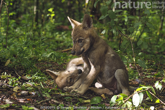 Wolf (Canis lupus) pups, Tver, Russia, Baby, Canis lupus, Color Image, Day, Front View, Full Length, Horizontal, Nobody, Outdoors, Photography, Pup, Russia, Side View, Tver, Two Animals, Wildlife, Wolf,Wolf,Russia, Sergey Gorshkov