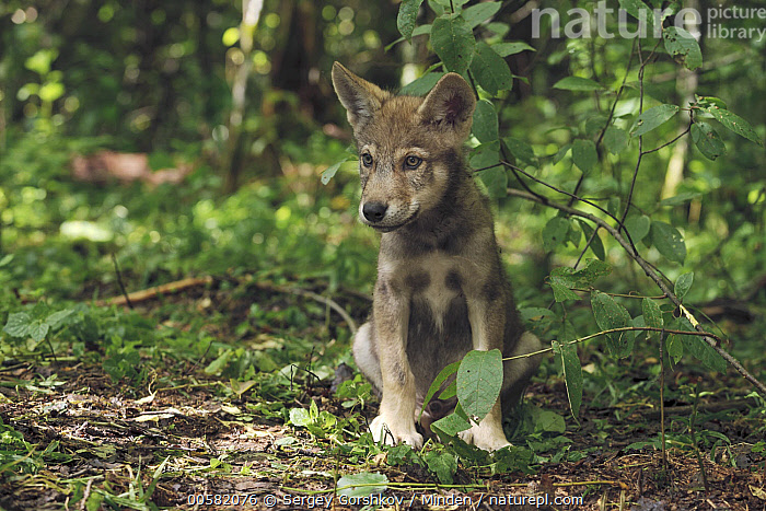 Wolf (Canis lupus) pup, Tver, Russia  ,  Baby, Canis lupus, Color Image, Day, Front View, Full Length, Horizontal, Nobody, One Animal, Outdoors, Photography, Pup, Russia, Tver, Wildlife, Wolf,Wolf,Russia  ,  Sergey Gorshkov