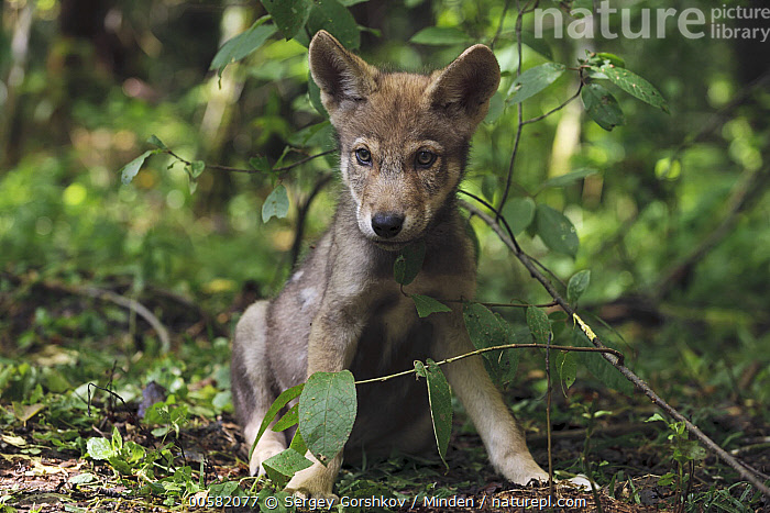 Wolf (Canis lupus) pup, Tver, Russia  ,  Baby, Canis lupus, Color Image, Day, Front View, Full Length, Horizontal, Looking at Camera, Nobody, One Animal, Outdoors, Photography, Pup, Russia, Tver, Wildlife, Wolf,Wolf,Russia  ,  Sergey Gorshkov