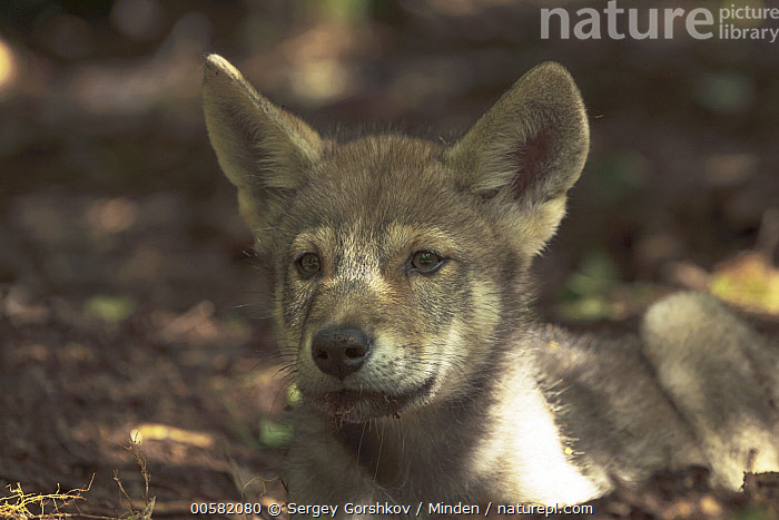 Wolf (Canis lupus) pup, Tver, Russia, Baby, Canis lupus, Color Image, Day, Front View, Horizontal, Nobody, One Animal, Outdoors, Photography, Pup, Russia, Three Quarter Length, Tver, Wildlife, Wolf,Wolf,Russia, Sergey Gorshkov