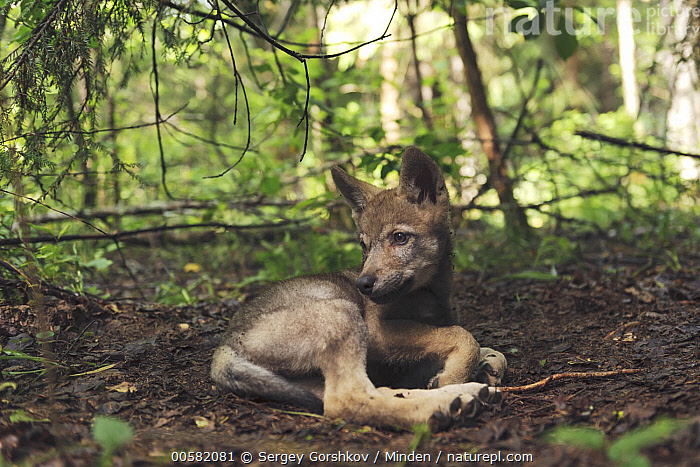 Wolf (Canis lupus) pup, Tver, Russia  ,  Baby, Canis lupus, Color Image, Day, Full Length, Horizontal, Nobody, One Animal, Outdoors, Photography, Pup, Russia, Side View, Tver, Wildlife, Wolf,Wolf,Russia  ,  Sergey Gorshkov