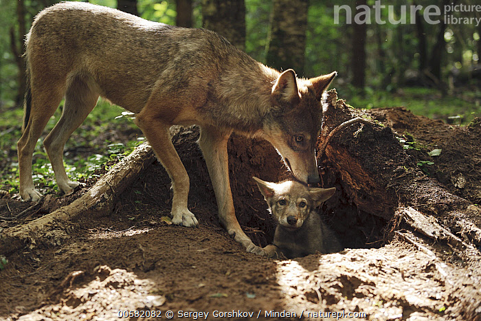 Wolf (Canis lupus) parent with pup at den, Tver, Russia  ,  Adult, Baby, Canis lupus, Color Image, Day, Den, Full Length, Horizontal, Nobody, Outdoors, Parent, Photography, Pup, Russia, Side View, Tver, Two Animals, Wildlife, Wolf,Wolf,Russia  ,  Sergey Gorshkov