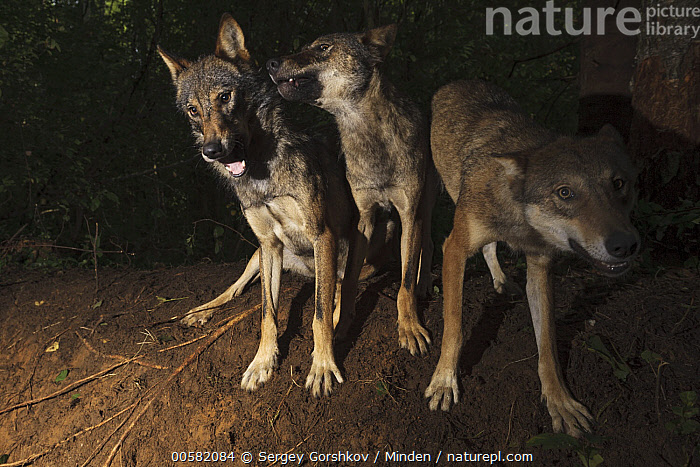 Wolf (Canis lupus) trio playing, Tver, Russia  ,  Adult, Canis lupus, Color Image, Day, Front View, Full Length, Horizontal, Looking at Camera, Nobody, Outdoors, Photography, Playing, Russia, Three Animals, Tver, Wildlife, Wolf,Wolf,Russia  ,  Sergey Gorshkov
