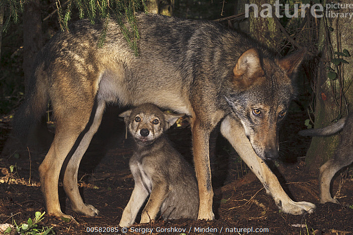 Wolf (Canis lupus) parent and pup, Tver, Russia, Adult, Baby, Canis lupus, Color Image, Day, Full Length, Horizontal, Looking at Camera, Nobody, Outdoors, Parent, Photography, Pup, Russia, Side View, Tver, Two Animals, Wildlife, Wolf,Wolf,Russia, Sergey Gorshkov