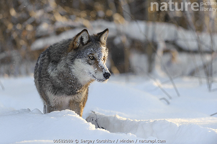 Wolf (Canis lupus) in snow, Tver, Russia, Adult, Canis lupus, Color Image, Day, Front View, Full Length, Horizontal, Nobody, One Animal, Outdoors, Photography, Russia, Snow, Tver, Wildlife, Winter, Wolf,Wolf,Russia, Sergey Gorshkov
