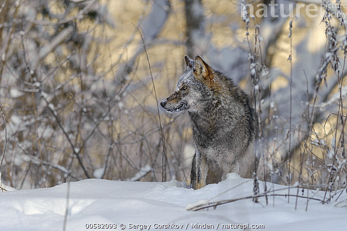 Wolf (Canis lupus) in snow, Tver, Russia  ,  Adult, Canis lupus, Color Image, Day, Front View, Full Length, Horizontal, Nobody, One Animal, Outdoors, Photography, Russia, Snow, Tver, Wildlife, Winter, Wolf,Wolf,Russia  ,  Sergey Gorshkov