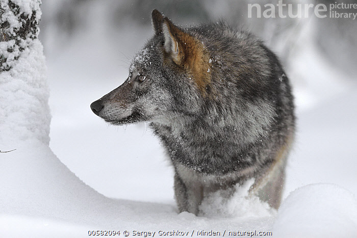 Wolf (Canis lupus) in snow, Tver, Russia  ,  Adult, Canis lupus, Color Image, Day, Front View, Full Length, Horizontal, Nobody, One Animal, Outdoors, Photography, Profile, Russia, Snow, Tver, Wildlife, Winter, Wolf,Wolf,Russia  ,  Sergey Gorshkov