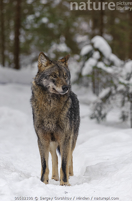 Wolf (Canis lupus) in snow, Tver, Russia  ,  Adult, Canis lupus, Color Image, Day, Front View, Full Length, Nobody, One Animal, Outdoors, Photography, Russia, Snow, Tver, Vertical, Wildlife, Winter, Wolf,Wolf,Russia  ,  Sergey Gorshkov