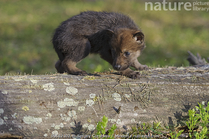 Wolf (Canis lupus) pup, Tver, Russia  ,  Baby, Canis lupus, Color Image, Cute, Day, Full Length, Horizontal, Nobody, One Animal, Outdoors, Photography, Pup, Russia, Side View, Tver, Wildlife, Wolf,Wolf,Russia  ,  Sergey Gorshkov