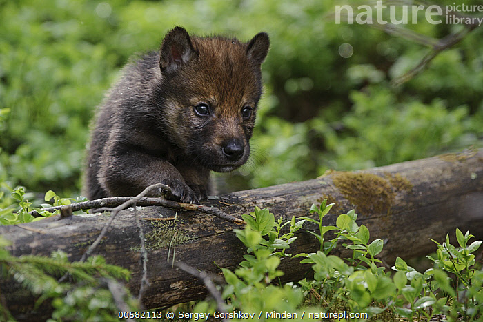 Wolf (Canis lupus) pup, Tver, Russia  ,  Baby, Canis lupus, Color Image, Cute, Day, Front View, Full Length, Horizontal, Nobody, One Animal, Outdoors, Photography, Pup, Russia, Tver, Wildlife, Wolf,Wolf,Russia  ,  Sergey Gorshkov