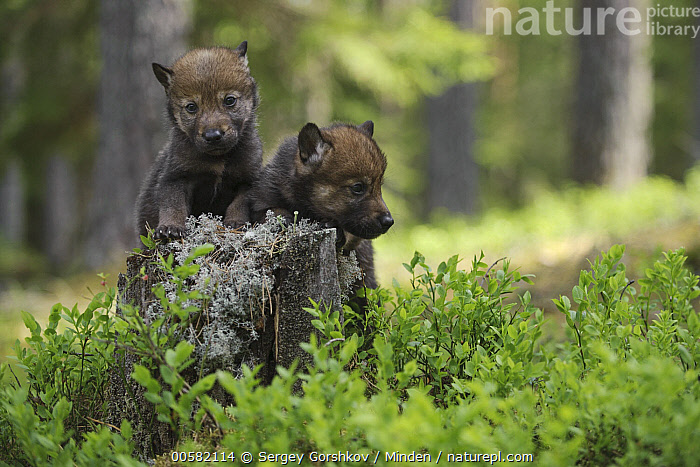 Wolf (Canis lupus) pups, Tver, Russia  ,  Baby, Canis lupus, Color Image, Cute, Day, Front View, Full Length, Horizontal, Looking at Camera, Nobody, Outdoors, Photography, Pup, Russia, Side View, Tver, Two Animals, Wildlife, Wolf,Wolf,Russia  ,  Sergey Gorshkov