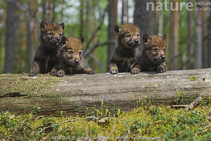 Wolf (Canis lupus) pups, Tver, Russia, Baby, Canis lupus, Color Image, Cute, Day, Four Animals, Front View, Full Length, Horizontal, Nobody, Outdoors, Photography, Pup, Russia, Tver, Wildlife, Wolf,Wolf,Russia, Sergey Gorshkov