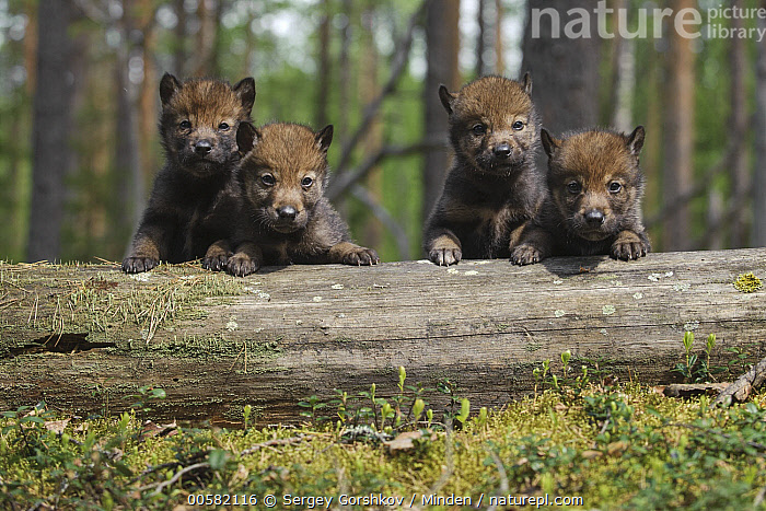 Wolf (Canis lupus) pups, Tver, Russia  ,  Baby, Canis lupus, Color Image, Cute, Day, Four Animals, Front View, Full Length, Horizontal, Looking at Camera, Nobody, Outdoors, Photography, Pup, Russia, Tver, Wildlife, Wolf,Wolf,Russia  ,  Sergey Gorshkov