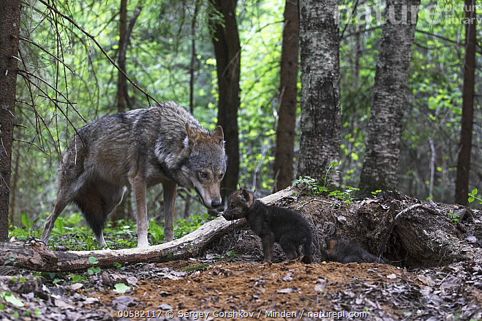 Wolf (Canis lupus) parent with pup at den, Tver, Russia, Adult, Baby, Canis lupus, Color Image, Day, Den, Full Length, Horizontal, Nobody, Outdoors, Parent, Photography, Pup, Russia, Side View, Smelling, Tver, Two Animals, Wildlife, Wolf,Wolf,Russia, Sergey Gorshkov