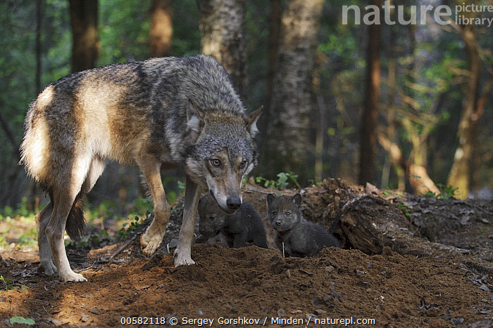 Wolf (Canis lupus) parent at den with two pups, Tver, Russia, Adult, Baby, Canis lupus, Color Image, Day, Den, Full Length, Horizontal, Nobody, Outdoors, Parent, Photography, Pup, Russia, Side View, Three Animals, Tver, Wildlife, Wolf,Wolf,Russia, Sergey Gorshkov