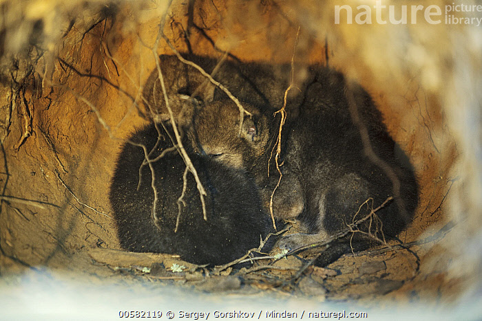 Wolf (Canis lupus) sleeping pups in den, Tver, Russia, Baby, Canis lupus, Color Image, Day, Den, Full Length, Horizontal, Nobody, Outdoors, Photography, Pup, Russia, Side View, Sleeping, Three Animals, Tver, Wildlife, Wolf,Wolf,Russia, Sergey Gorshkov