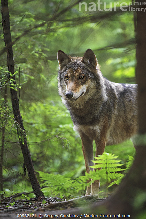 Wolf (Canis lupus) in forest, Tver, Russia  ,  Adult, Canis lupus, Color Image, Day, Forest, Nobody, One Animal, Outdoors, Photography, Russia, Side View, Tver, Vertical, Waist Up, Wildlife, Wolf,Wolf,Russia  ,  Sergey Gorshkov