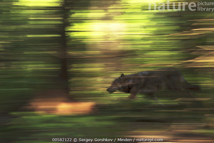 Wolf (Canis lupus) running through forest, Tver, Russia  ,  Adult, Blurred Motion, Canis lupus, Color Image, Day, Forest, Full Length, Horizontal, Moody, Nobody, One Animal, Outdoors, Panning, Photography, Running, Russia, Side View, Speed, Tver, Wildlife, Wolf,Wolf,Russia  ,  Sergey Gorshkov