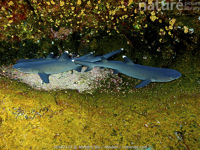 White-tip Reef Shark (Triaenodon obesus) trio, Revillagigedo Islands, Mexico  ,  Adult, Color Image, Day, Full Length, Horizontal, Mexico, Nobody, Outdoors, Photography, Revillagigedo Islands, Side View, Three Animals, Triaenodon obesus, Underwater, White-tip Reef Shark, Wildlife,White-tip Reef Shark,Mexico  ,  Norbert Wu