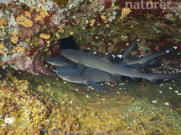 White-tip Reef Shark (Triaenodon obesus) group, Revillagigedo Islands, Mexico, Adult, Color Image, Day, Five Animals, Full Length, Horizontal, Mexico, Nobody, Outdoors, Photography, Revillagigedo Islands, Side View, Triaenodon obesus, Underwater, White-tip Reef Shark, Wildlife,White-tip Reef Shark,Mexico, Norbert Wu
