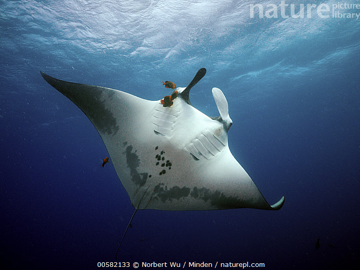 Manta Ray (Manta birostris) being cleaned by Clarion Angelfish (Holacanthus clarionensis) group, Socorro Island, Revillagigedo Islands, Mexico  ,  Adult, Clarion Angelfish, Cleaning, Color Image, Day, Feeding, Five Animals, Front View, Full Length, Holacanthus clarionensis, Horizontal, Low Angle View, Manta Ray, Manta birostris, Mexico, Mutualism, Nobody, Outdoors, Photography, Revillagigedo Islands, Side View, Socorro Island, Underside, Underwater, Wildlife,Manta Ray,Clarion Angelfish,Holacanthus clarionensis,Mexico  ,  Norbert Wu