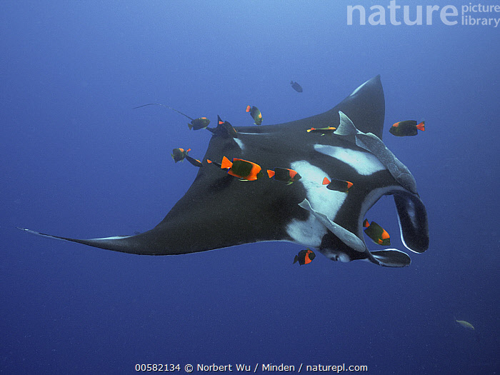Manta Ray (Manta birostris) being cleaned by Clarion Angelfish (Holacanthus clarionensis) group, Socorro Island, Revillagigedo Islands, Mexico  ,  Adult, Clarion Angelfish, Cleaning, Color Image, Day, Feeding, Full Length, Holacanthus clarionensis, Horizontal, Large Group of Animals, Manta Ray, Manta birostris, Mexico, Mutualism, Nobody, Outdoors, Photography, Remora, Revillagigedo Islands, School, Side View, Socorro Island, Underwater, Wildlife,Manta Ray,Clarion Angelfish,Holacanthus clarionensis,Mexico  ,  Norbert Wu