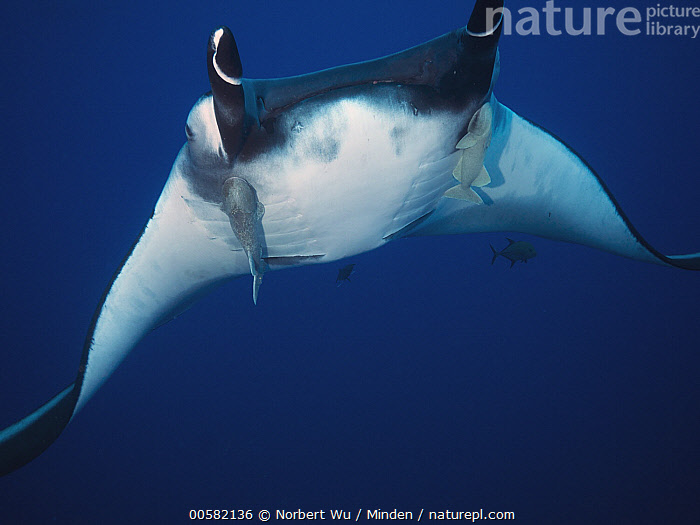 Manta Ray (Manta birostris) with Remora (Remora remora) pair, Socorro Island, Revillagigedo Islands, Mexico, Adult, Color Image, Commensalism, Day, Five Animals, Front View, Full Length, Horizontal, Low Angle View, Manta Ray, Manta birostris, Mexico, Nobody, Outdoors, Photography, Remora, Remora remora, Revillagigedo Islands, Socorro Island, Three Quarter Length, Underwater, Wildlife,Manta Ray,Remora,Remora remora,Mexico, Norbert Wu
