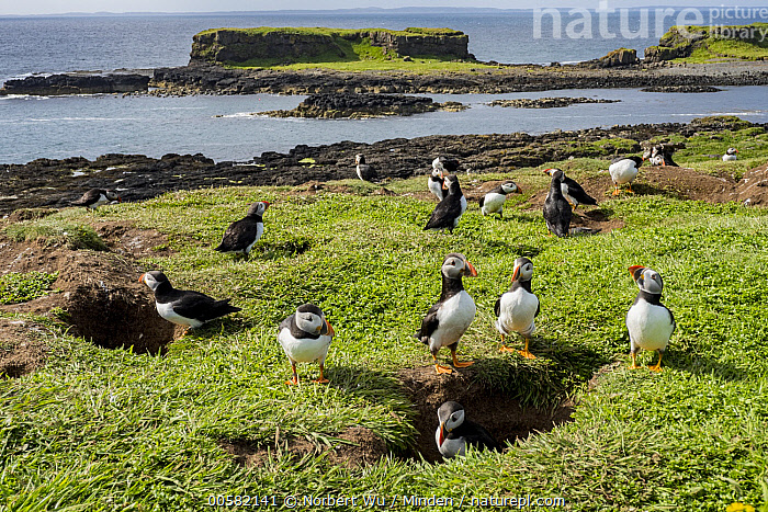Atlantic Puffin (Fratercula arctica) nesting colony in late spring, Treshnish Isles, Scotland  ,  Adult, Animal in Habitat, Atlantic Puffin, Burrow, Coast, Color Image, Colony, Day, Fratercula arctica, Front View, Full Length, High Angle View, Horizontal, Large Group of Animals, Nesting Colony, Nobody, Outdoors, Photography, Scotland, Seabird, Side View, Spring, Treshnish Isles, Wildlife,Atlantic Puffin,Scotland  ,  Norbert Wu