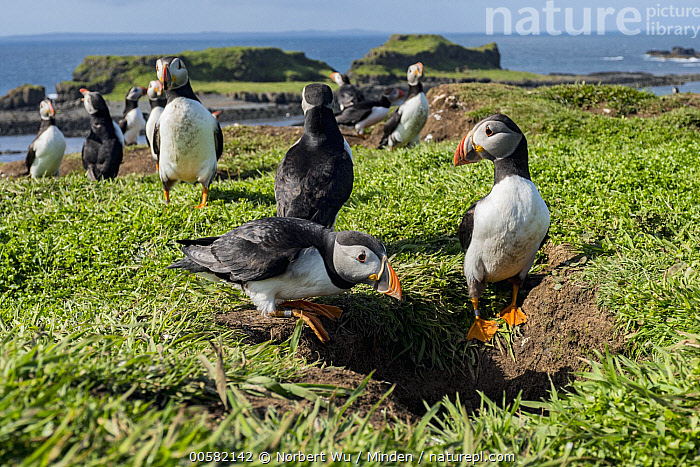 Atlantic Puffin (Fratercula arctica) nesting colony in late spring, Treshnish Isles, Scotland, Adult, Atlantic Puffin, Burrow, Color Image, Day, Fratercula arctica, Front View, Full Length, Horizontal, Medium Group of Animals, Nesting Colony, Nobody, Outdoors, Photography, Scotland, Seabird, Side View, Spring, Treshnish Isles, Wildlife,Atlantic Puffin,Scotland, Norbert Wu