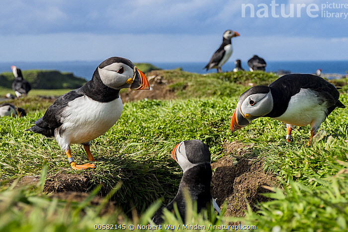 Atlantic Puffin (Fratercula arctica) nesting colony in late spring, Treshnish Isles, Scotland, Adult, Atlantic Puffin, Burrow, Color Image, Day, Fratercula arctica, Full Length, Horizontal, Medium Group of Animals, Nesting Colony, Nobody, Outdoors, Photography, Rear View, Scotland, Seabird, Side View, Spring, Treshnish Isles, Waist Up, Wildlife,Atlantic Puffin,Scotland, Norbert Wu