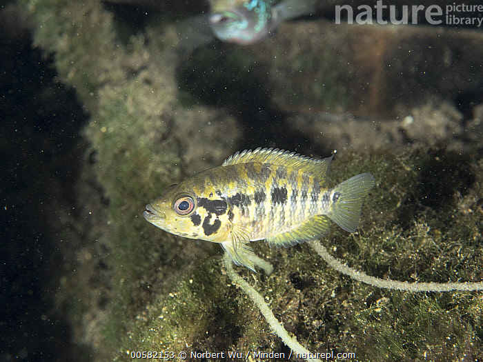 Mayan Cichlid (Cichlasoma urophthalmus) juvenile in freshwater cenote, Quintana Roo, Yucatan Peninsula, Yucatan, Mexico, Cenote, Cichlasoma urophthalmus, Color Image, Day, Freshwater, Full Length, Horizontal, Juvenile, Mayan Cichlid, Mexico, Nobody, One Animal, Outdoors, Photography, Quintana Roo, Side View, Underwater, Wildlife, Yucatan, Yucatan Peninsula,Mayan Cichlid,Mexico, Norbert Wu