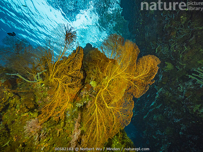 Fan Coral (Melithaea sp) in reef, Papua New Guinea, Adult, Color Image, Coral Reef, Day, Fan Coral, Full Length, Horizontal, Melithaea sp, Nobody, One Animal, Outdoors, Papua New Guinea, Photography, Side View, Underwater, Wildlife,Fan Coral,Papua New Guinea, Norbert Wu