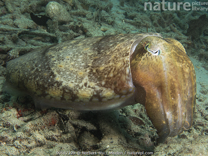 Cuttlefish (Sepia sp), Papua New Guinea, Adult, Color Image, Cuttlefish, Day, Full Length, Horizontal, Nobody, One Animal, Outdoors, Papua New Guinea, Photography, Sepia sp, Side View, Underwater, Wildlife,Cuttlefish,Papua New Guinea, Norbert Wu
