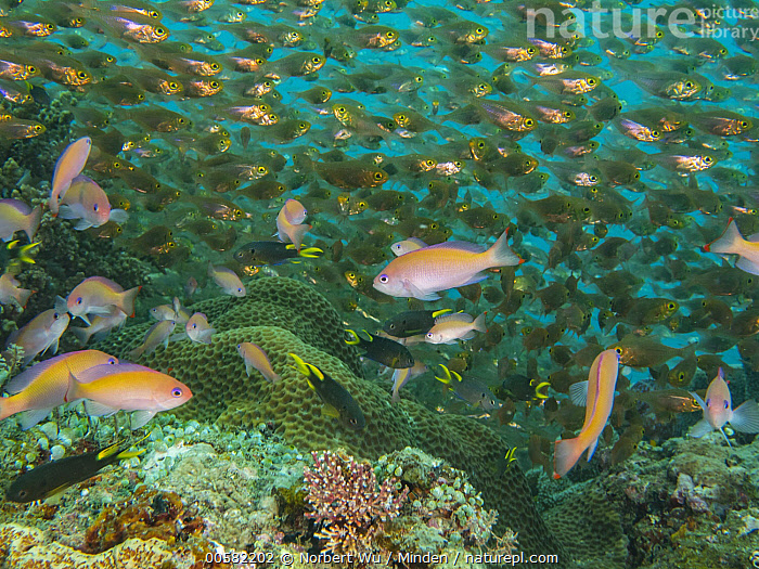 Sweeper (Parapriacanthus sp) and Pygmy Sweeper (Parapriacanthus ransonneti) in coral reef, Papua New Guinea, Adult, Color Image, Day, Full Length, Horizontal, Large Group of Animals, Mixed, Nobody, Outdoors, Papua New Guinea, Parapriacanthus sp, Parapriacanthus ransonneti, Photography, Pygmy Sweeper, School, Side View, Sweeper, Underwater, Wildlife,Sweeper,Pygmy Sweeper,Parapriacanthus ransonneti,Papua New Guinea, Norbert Wu