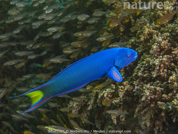 Moon Wrasse (Thalassoma lunare) terminal phase male and Pygmy Sweeper (Parapriacanthus ransonneti) in coral reef, Papua New Guinea, Adult, Blue, Color Image, Day, Full Length, High Angle View, Horizontal, Large Group of Animals, Male, Mixed, Moon Wrasse, Nobody, Outdoors, Papua New Guinea, Parapriacanthus ransonneti, Photography, Pygmy Sweeper, School, Side View, Thalassoma lunare, Underwater, Wildlife,Moon Wrasse,Pygmy Sweeper,Parapriacanthus ransonneti,Papua New Guinea, Norbert Wu