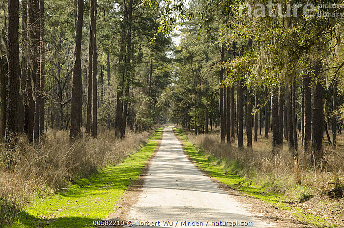 Pine (Pinus sp) forest along road, Donnelley Wildlife Management Area, South Carolina, Color Image, Day, Donnelley Wildlife Management Area, Forest, Horizontal, Landscape, Nobody, Outdoors, Path, Photography, Pine, Pinus sp, Road, South Carolina,Pine,South Carolina, USA, Norbert Wu