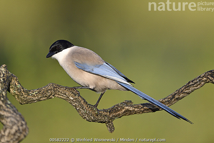 Iberian Magpie (Cyanopica cooki), Extremadura, Spain, Adult, Color Image, Cyanopica cooki, Day, Endemic, Extremadura, Full Length, Horizontal, Iberian Magpie, Nobody, One Animal, Outdoors, Photography, Side View, Songbird, Spain, Wildlife,Iberian Magpie,Spain, Winfried Wisniewski