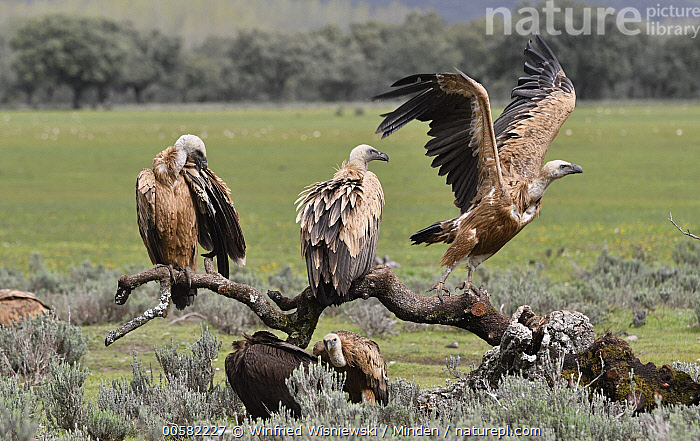 Griffon Vulture (Gyps fulvus) group at feeding station, Castile-La Mancha, Spain, Adult, Castile-La Mancha, Color Image, Day, Feeding Station, Flying, Full Length, Griffon Vulture, Gyps fulvus, Horizontal, Medium Group of Animals, Nobody, Outdoors, Photography, Raptor, Rear View, Side View, Spain, Taking Flight, Wildlife,Griffon Vulture,Spain, Winfried Wisniewski