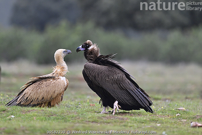 Griffon Vulture (Gyps fulvus) and Eurasian Black Vulture (Aegypius monachus) at feeding station, Castile-La Mancha, Spain, Adult, Aegypius monachus, Castile-La Mancha, Color Image, Day, Difference, Eurasian Black Vulture, Feeding Station, Full Length, Griffon Vulture, Gyps fulvus, Horizontal, Nobody, Outdoors, Photography, Raptor, Side View, Spain, Two Animals, Wildlife,Griffon Vulture,Eurasian Black Vulture,Aegypius monachus,Spain, Winfried Wisniewski