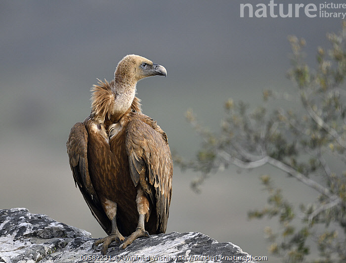 Griffon Vulture (Gyps fulvus) at feeding station, Extremadura, Spain  ,  Adult, Color Image, Day, Extremadura, Feeding Station, Front View, Full Length, Griffon Vulture, Gyps fulvus, Horizontal, Nobody, One Animal, Outdoors, Photography, Raptor, Spain, Wildlife,Griffon Vulture,Spain  ,  Winfried Wisniewski