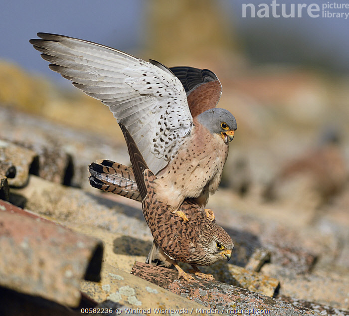 Lesser Kestrel (Falco naumanni) pair mating, Castile-La Mancha, Spain  ,  Adult, Castile-La Mancha, Color Image, Day, Falco naumanni, Female, Full Length, Horizontal, Lesser Kestrel, Male, Mating, Nobody, Outdoors, Photography, Raptor, Side View, Spain, Spreading Wings, Square, Threatened Species, Two Animals, Vulnerable Species, Wildlife,Lesser Kestrel,Spain  ,  Winfried Wisniewski