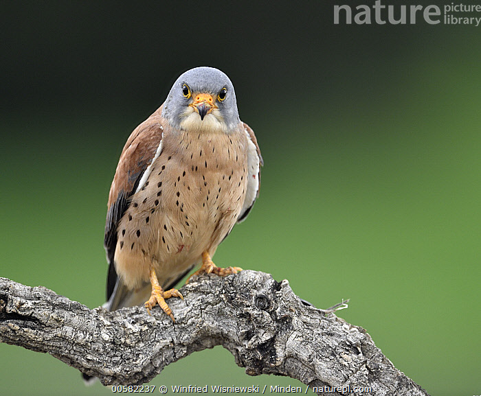 Lesser Kestrel (Falco naumanni) male, Castile-La Mancha, Spain, Adult, Castile-La Mancha, Color Image, Day, Falco naumanni, Front View, Full Length, Horizontal, Lesser Kestrel, Looking at Camera, Male, Nobody, One Animal, Outdoors, Photography, Raptor, Spain, Threatened Species, Vulnerable Species, Wildlife,Lesser Kestrel,Spain, Winfried Wisniewski