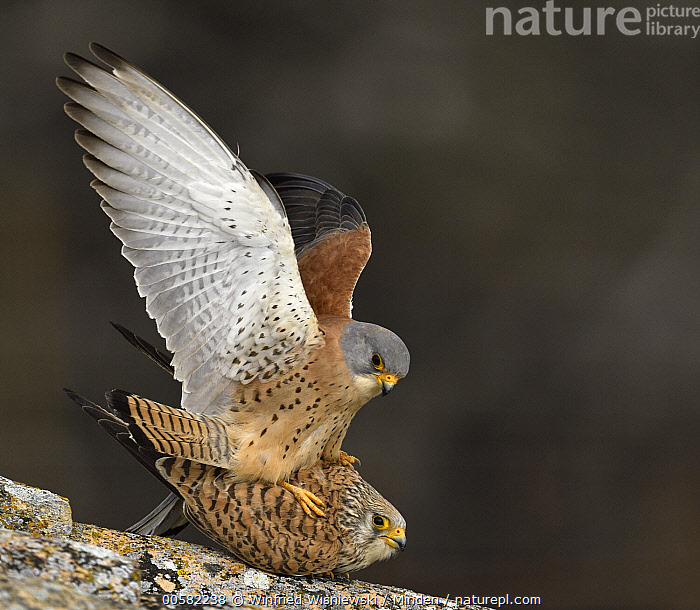 Lesser Kestrel (Falco naumanni) pair mating, Castile-La Mancha, Spain, Adult, Castile-La Mancha, Color Image, Day, Falco naumanni, Female, Full Length, Horizontal, Lesser Kestrel, Male, Mating, Nobody, Outdoors, Photography, Raptor, Side View, Spain, Spreading Wings, Square, Threatened Species, Two Animals, Vulnerable Species, Wildlife,Lesser Kestrel,Spain, Winfried Wisniewski