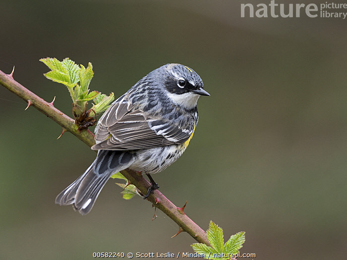 Yellow-rumped Warbler (Setophaga coronata) male in spring, Maine, Adult, Color Image, Day, Full Length, Horizontal, Maine, Male, Nobody, One Animal, Outdoors, Photography, Rear View, Setophaga coronata, Songbird, Spring, Wildlife, Yellow-rumped Warbler,Yellow-rumped Warbler,Maine, USA, Scott Leslie